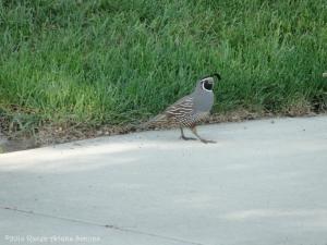 5:25:14 male quail sig