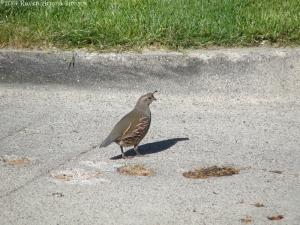 5:25:14 quail hen sig