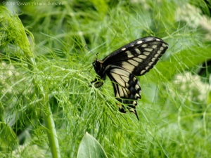 5:26:14 swallowtail 1 sig