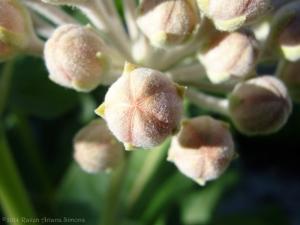 5:27:14 milkweed sig
