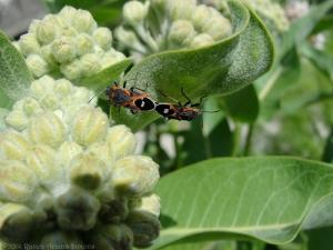 5:30:14 beetles (Lygaeus kalmii) sig