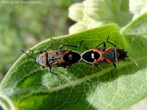 5:30:14 beetles mating 1 sig
