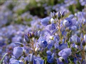 5:6:14 blue groundcover close 1 sig