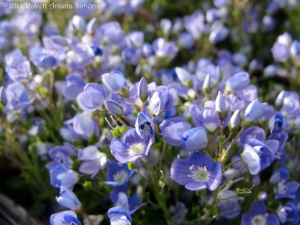 5:6:14 blue groundcover open sig