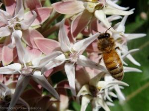 6:1:14 milkweed honeybee sig