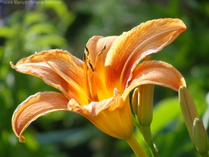 6:13:14 big lily sig