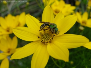 6:16:14 sweat bee yellow flower sig