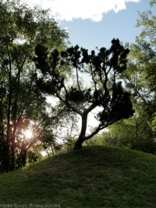 6:21:14 bonsai tree v sig