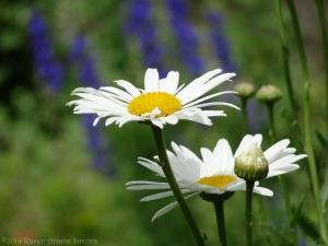 6:23:14 daisies sig