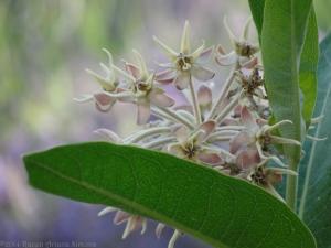 6:27:14 milkweed fades sig
