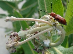 6:27:14 milkweeds pod beetle sig