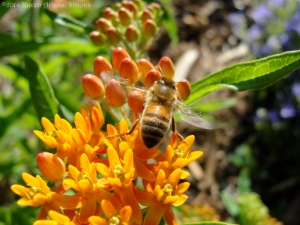 6:8:14 butterfly weed sig