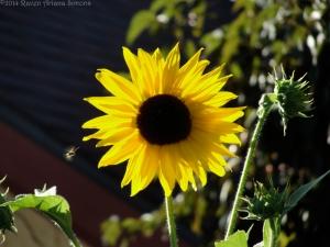 7:11:14 sunflower flyer sig