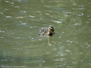 7:1:14 duckling sig