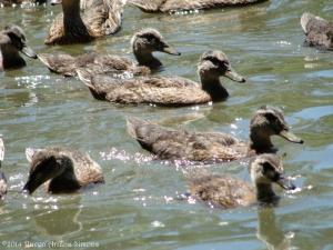 7:1:14 young ducks sig
