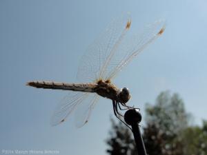 7:16:14 dragonfly sig