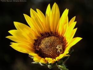7:19:14 sunflower native bee 1 sig