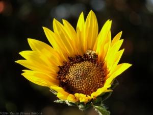 7:19:14 sunflower native bee sig