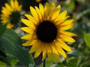 7:24:14 sunflower 1 sig