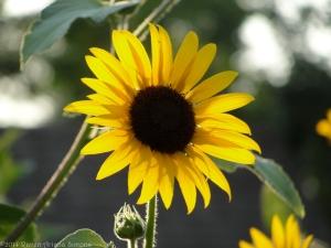 7:24:14 sunflower 2 sig