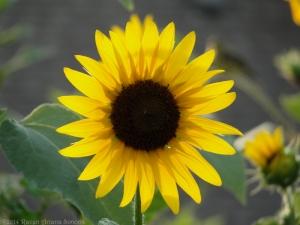 7:24:14 sunflower sig