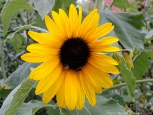 7:31:14 sunflower bees sig