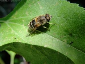 7:5:14 hover fly sunflower leaf sig