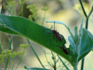7:7:14 beetles sig