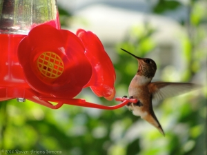8:11:14 rufous hanging on sig