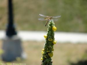 8:1:14 dragonfly sig