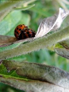 8:25:14 mating ladybugs v sig