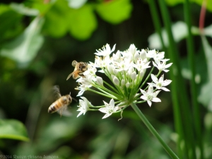 8:27:14 garlic chive honeybees sig