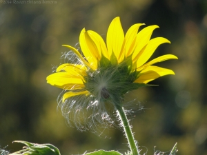 8:28:14 sunflower 2 sig