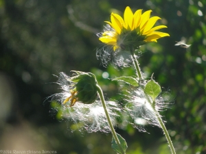 8:28:14 sunflowers sig