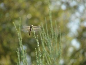 9:10:11 dragonfly juniper sig