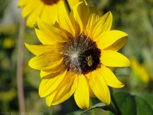 9:1:14 sunflower bee sig