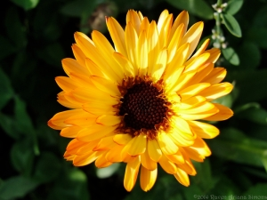 9:14:14 calendula flower sig