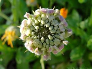9:14:14 calendula seeds new sig