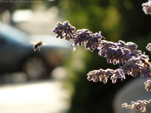 9:14:14 russian sage flying bee sig