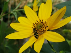 9:26:14 hoverfly 1 sig