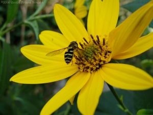 9:26:14 hoverfly sig