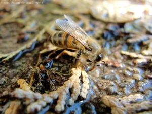 9:29:14 honeybee drinking sig