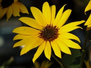 9:7:14 sunflower 1 sig