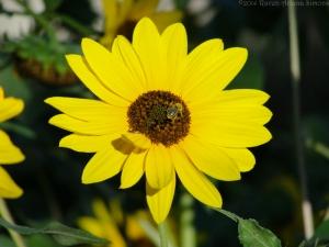 9:7:14 sunflower sig