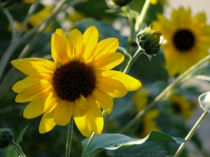 9:7:14 sunflowers 1 sig