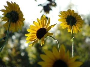 9:7:14 sunflowers sig