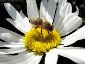 10:1:14 daisy bee 1 sig