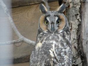 10:16:14 long eared owl sig