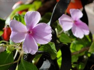10:26:14 lavender impatiens 1 sig