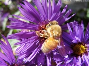 10:6:14 a golden aster bee sig